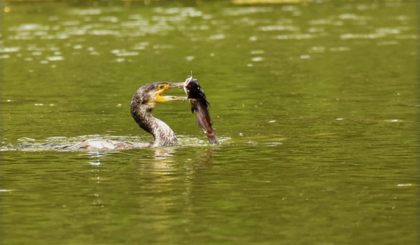 Great Cormorant fishing