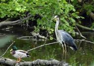 Grey Heron with Mallard – male
