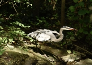 Grey Heron with Catfish