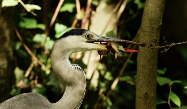 Grey Heron feeding on Catfish