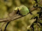 Rose-ringed-Parakeet -f.