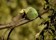 Rose-ringed Parakeet -f.