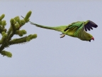 Rose-ringed Parakeet – f.