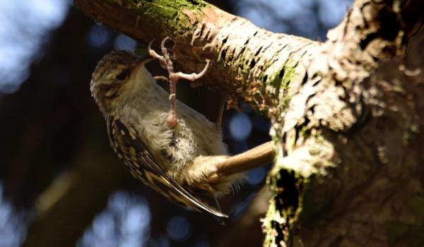 Short-toed Treecreeper
