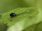 Alder Leaf Beetle – female