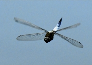 Black-tailed Skimmer – male