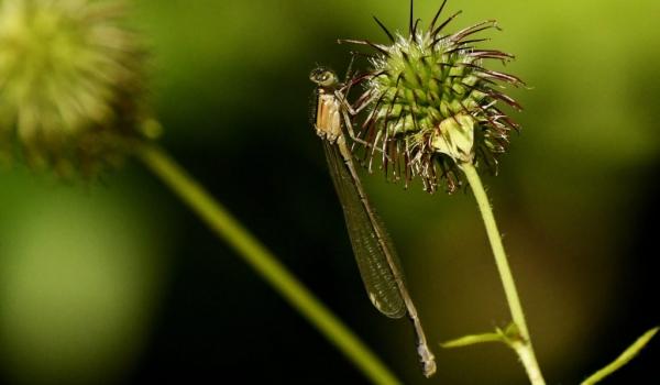 Blue-tailed Damselfly – female