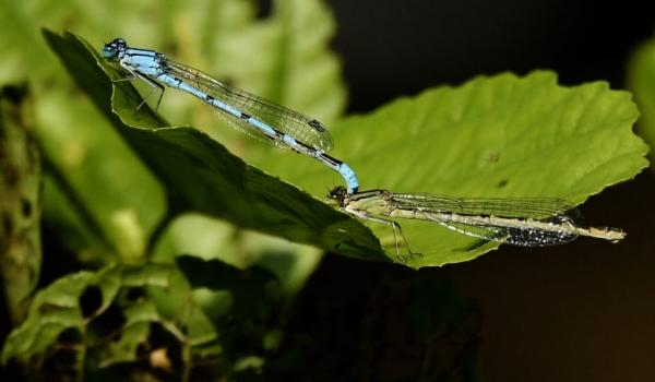 common blue damselfly-tandem