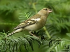 Common Chaffinch – female