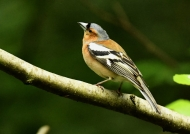 Common Chaffinch – male