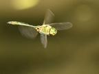 Downy Emerald – male