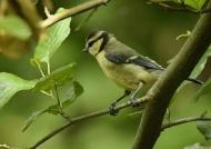 Eurasian Blue Tit – juvenile