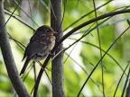 European Robin – Juvenile