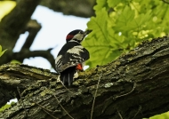 Great Spotted Woodpecker – m.