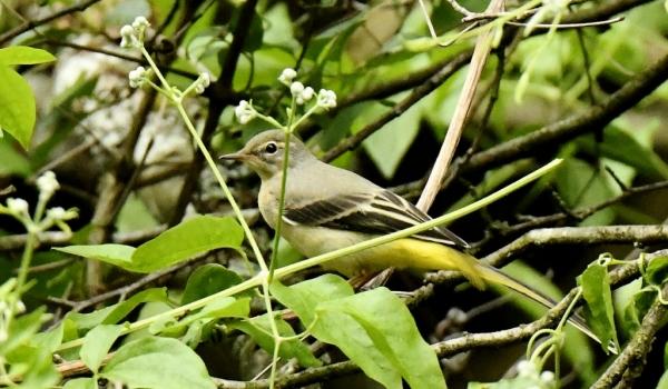 Grey Wagtail – female