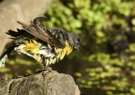 Grey Wagtail – male