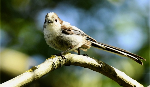 Long-tailed Tit – juvenile