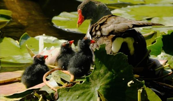 Moorhen Mum with chicks