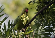 Rose-ringed Parakeet – female