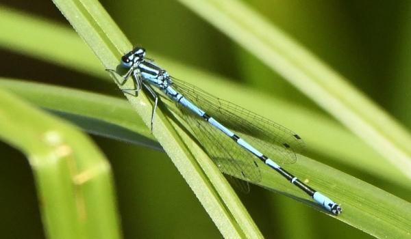 Common Blue Damselfly – male