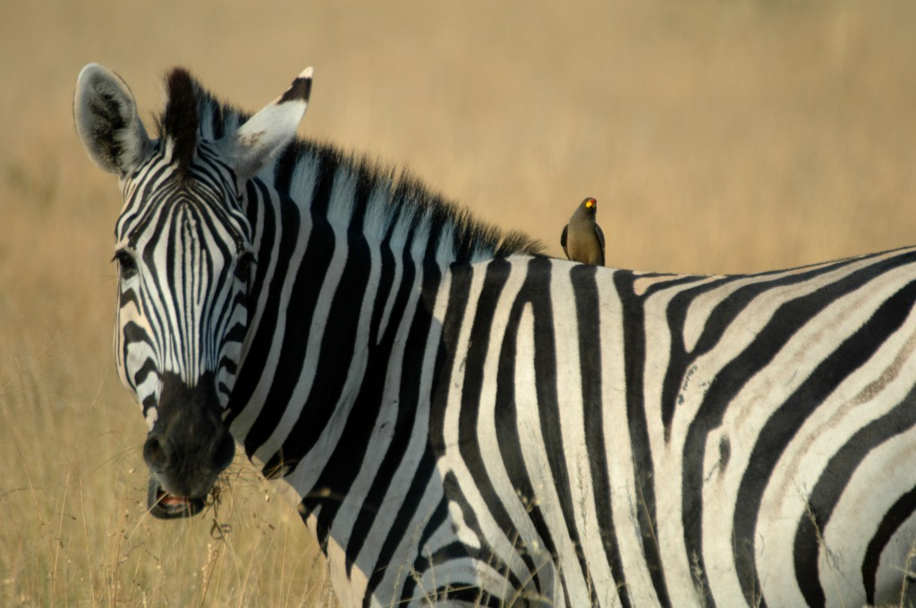 zebra and oxpecker relationship