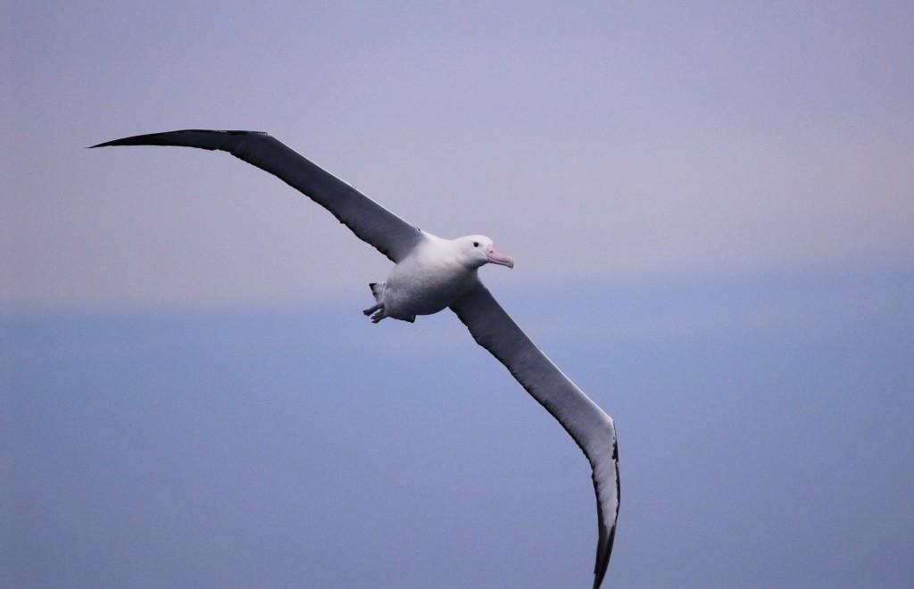Antarctica Other Birds