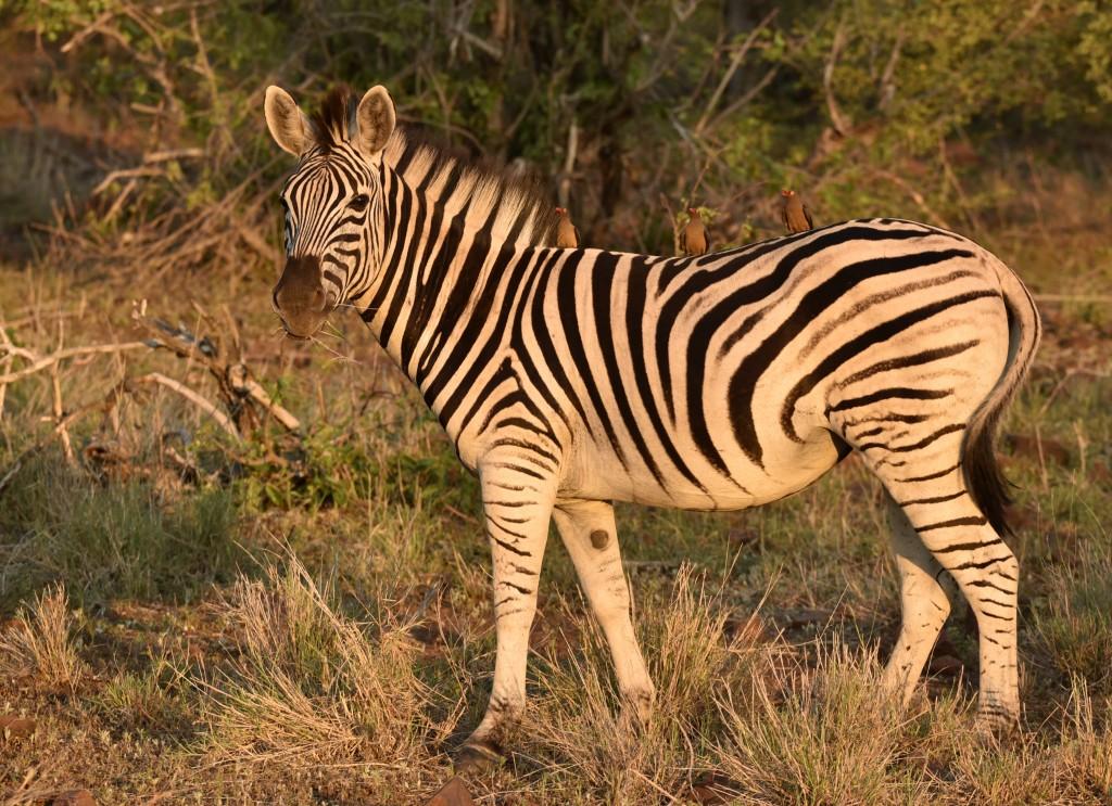 zebra wildlife south africa - 1024×743