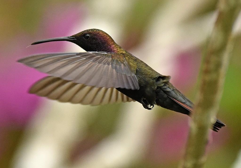 Jamaica Birds