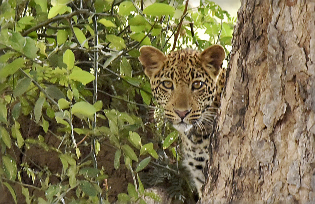 Male Leopard Hidden Marie France Grenouillet Wildlife Photographer